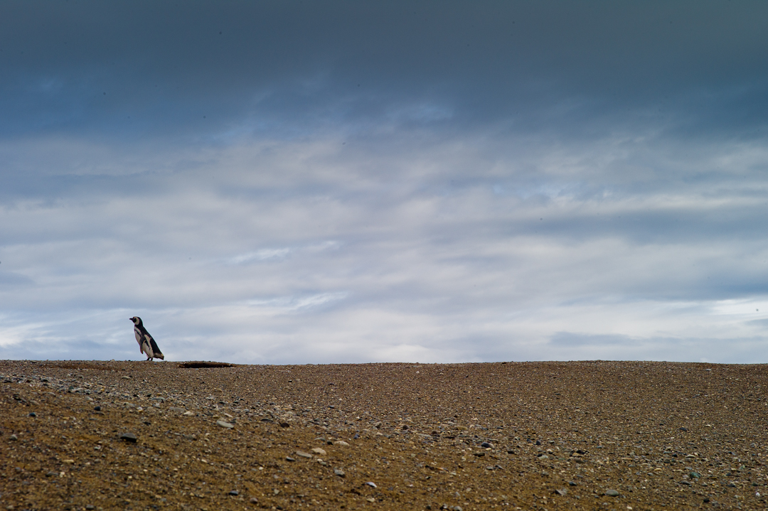 A lone penguin on Magdalena Island, Chile