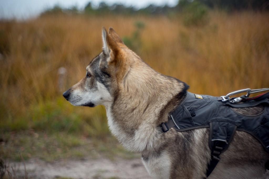 Our friend Wilka, half dog, half wolf.